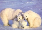 Polar_Bears_3-Family